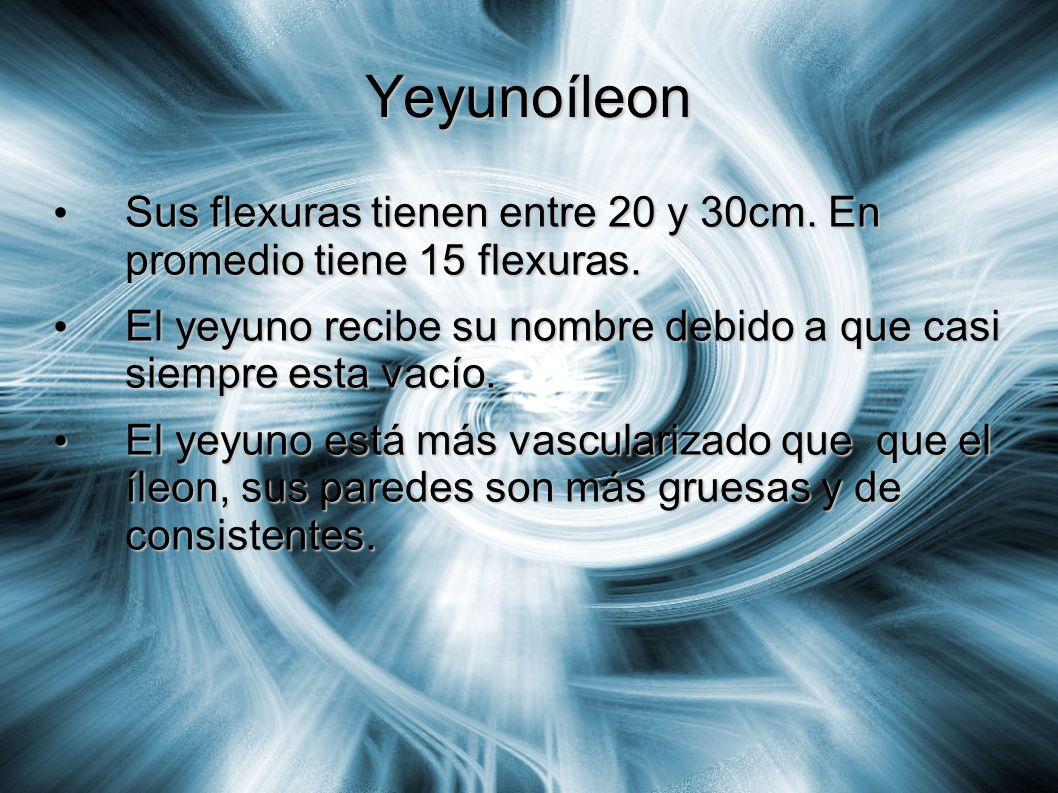 Yeyunoíleon Sus flexuras tienen entre 20 y 30cm. En promedio tiene 15 flexuras. El yeyuno recibe su nombre debido a que casi siempre esta vacío.