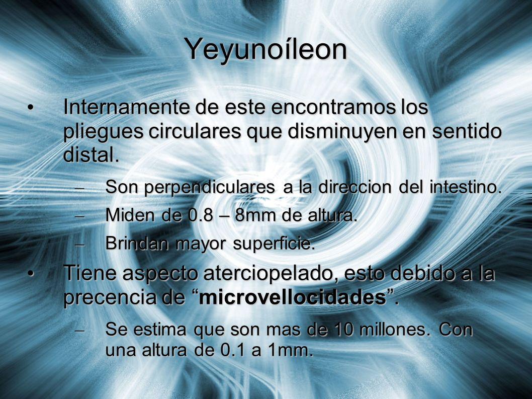 Yeyunoíleon Internamente de este encontramos los pliegues circulares que disminuyen en sentido distal.