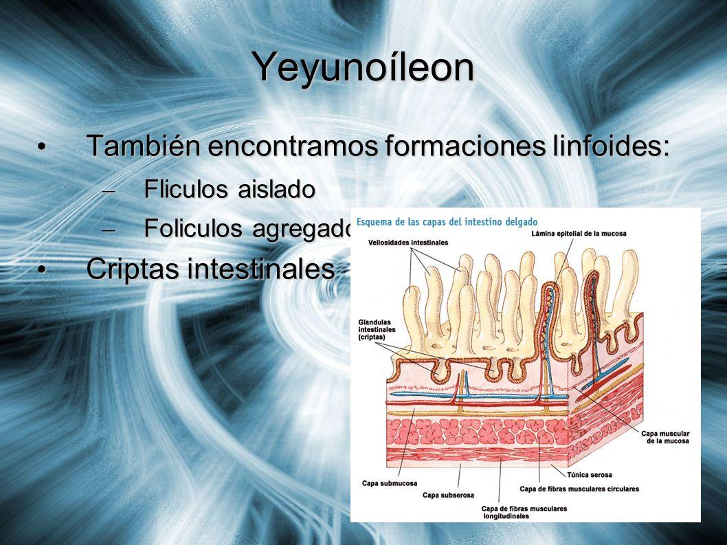 Yeyunoíleon También encontramos formaciones linfoides: