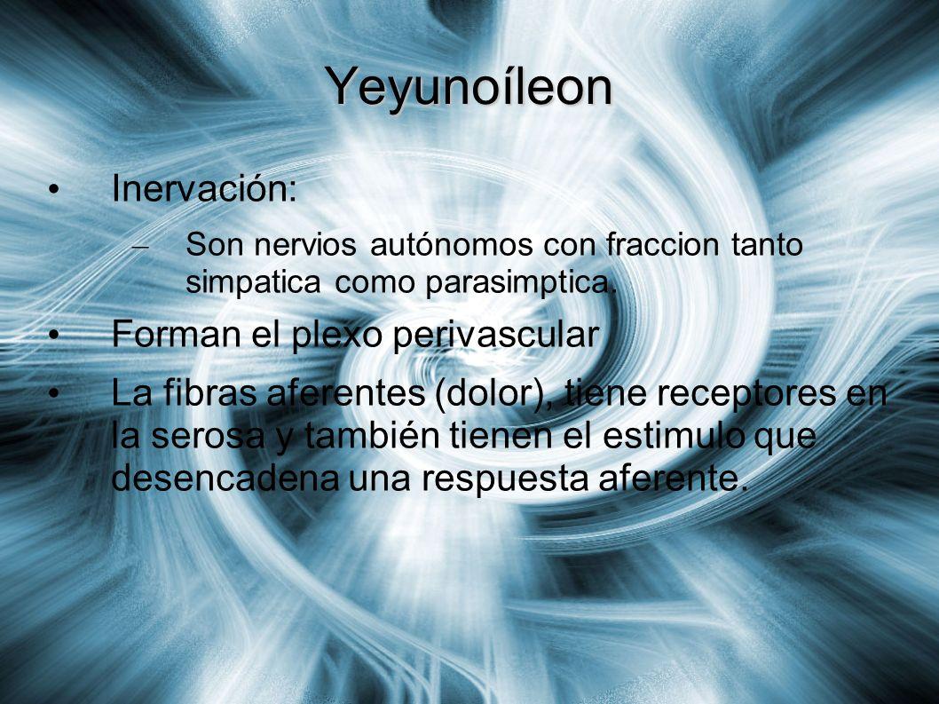 Yeyunoíleon Inervación: Forman el plexo perivascular