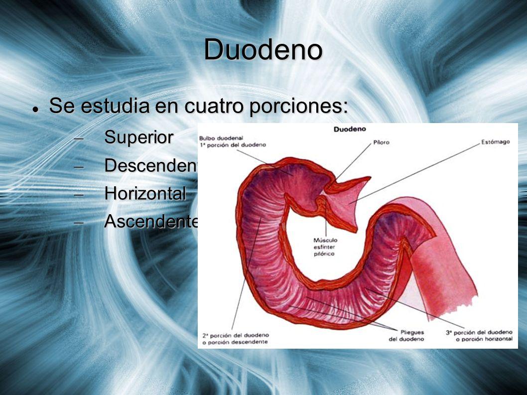 Duodeno Se estudia en cuatro porciones: Superior Descendente