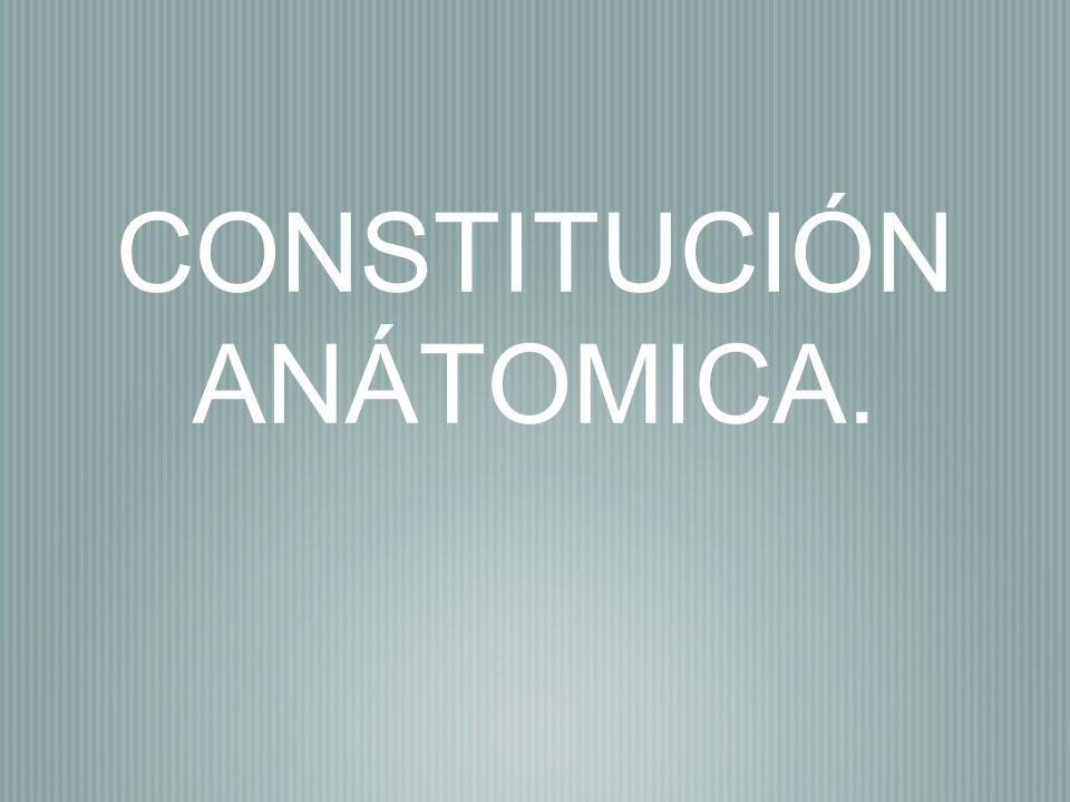 CONSTITUCIÓN ANÁTOMICA.