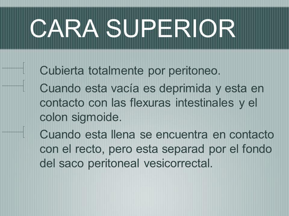 CARA SUPERIOR Cubierta totalmente por peritoneo.