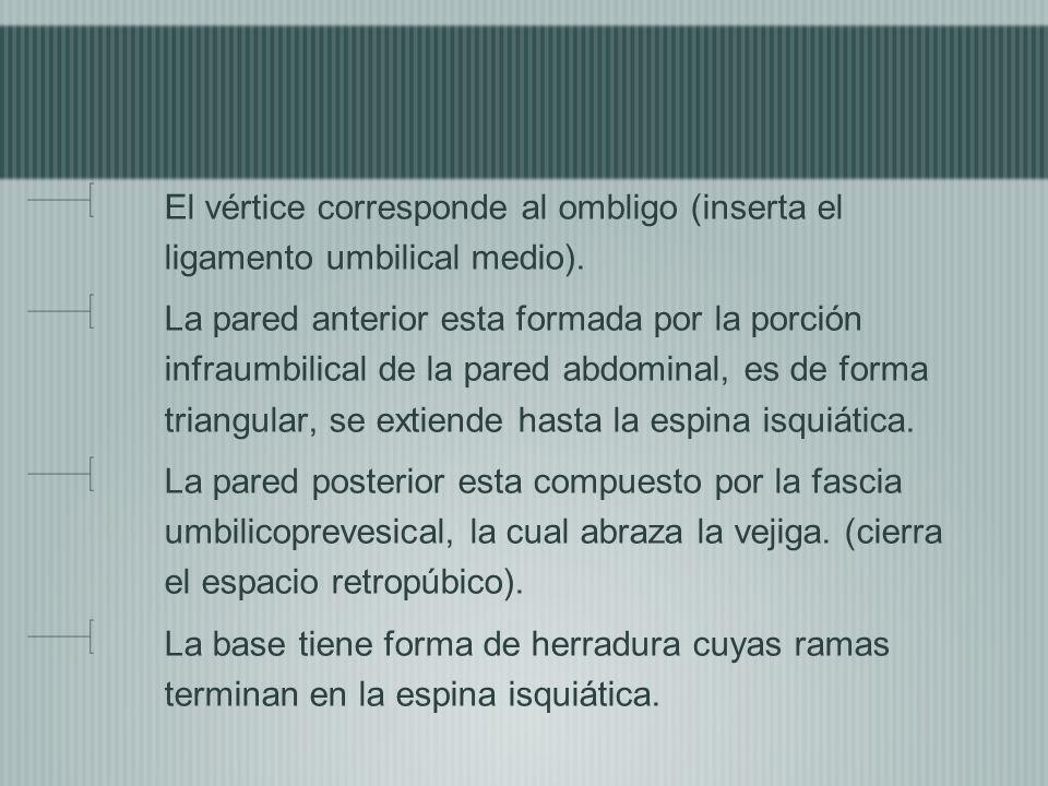 El vértice corresponde al ombligo (inserta el ligamento umbilical medio).