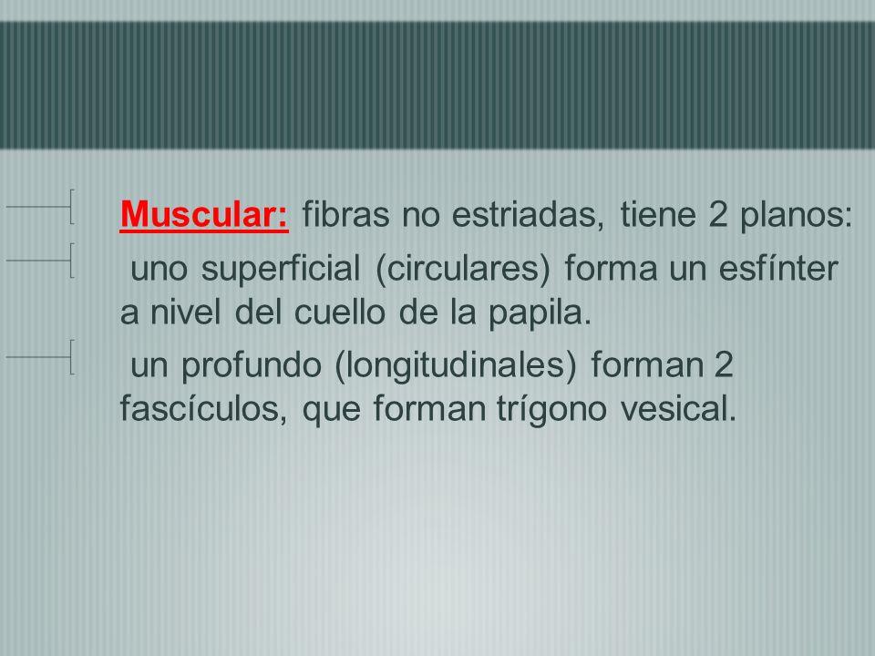 Muscular: fibras no estriadas, tiene 2 planos: