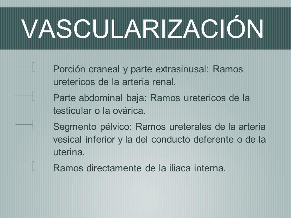 VASCULARIZACIÓN Porción craneal y parte extrasinusal: Ramos uretericos de la arteria renal.