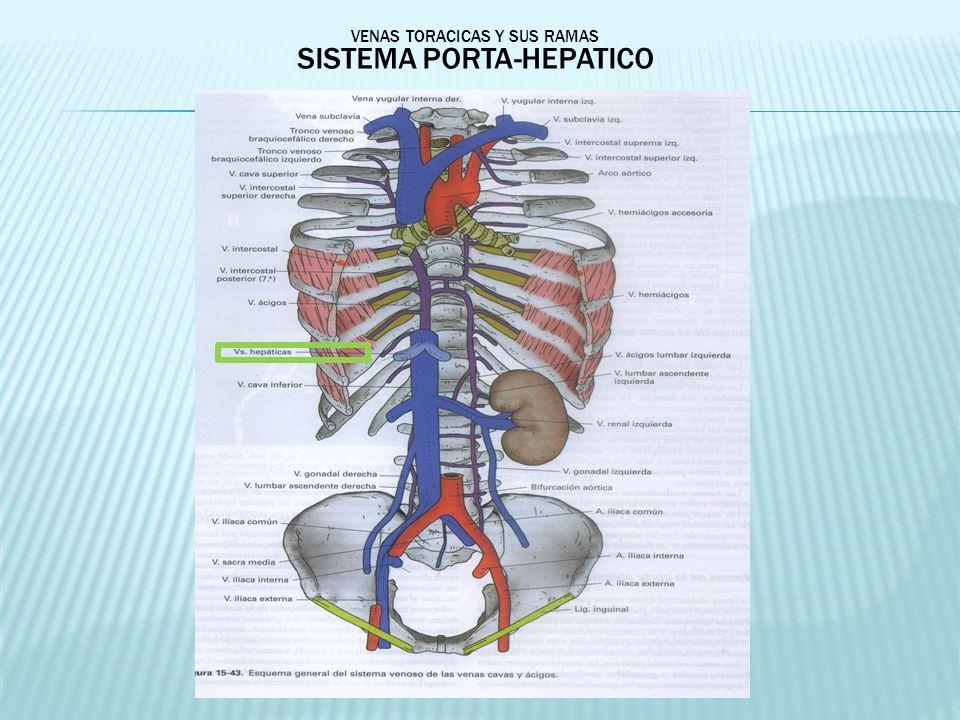 VENAS TORACICAS Y SUS RAMAS SISTEMA PORTA-HEPATICO