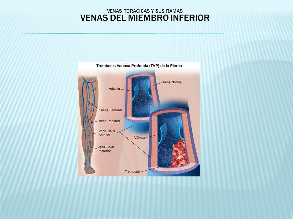 VENAS TORACICAS Y SUS RAMAS VENAS DEL MIEMBRO INFERIOR