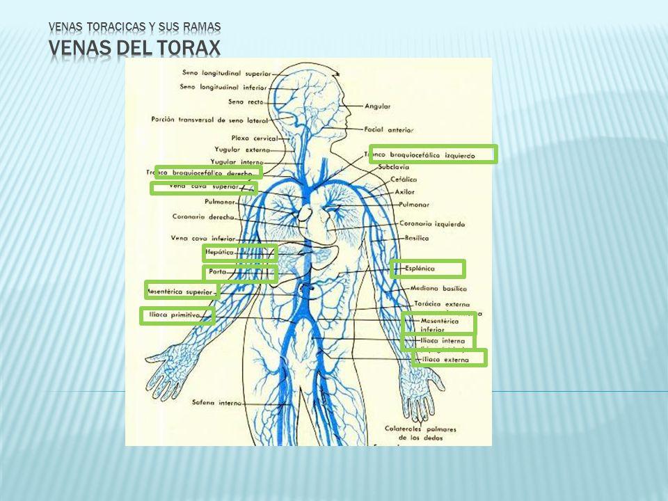 VENAS TORACICAS Y SUS RAMAS VENAS DEL TORAX