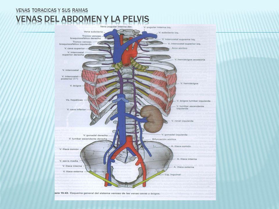VENAS TORACICAS Y SUS RAMAS VENAS DEL ABDOMEN Y LA PELVIS