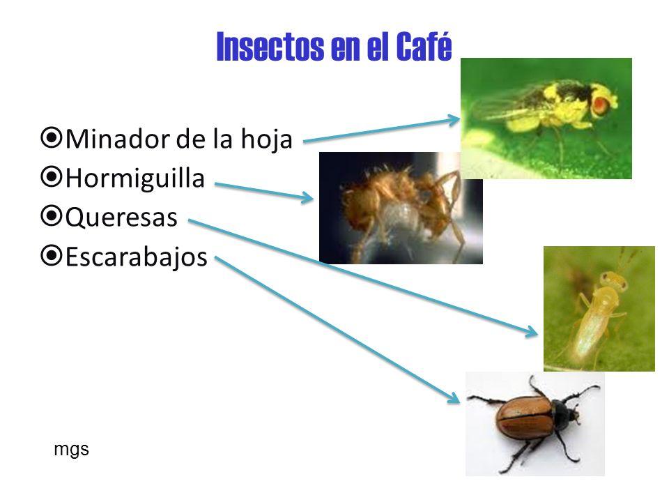 Insectos en el Café Minador de la hoja Hormiguilla Queresas