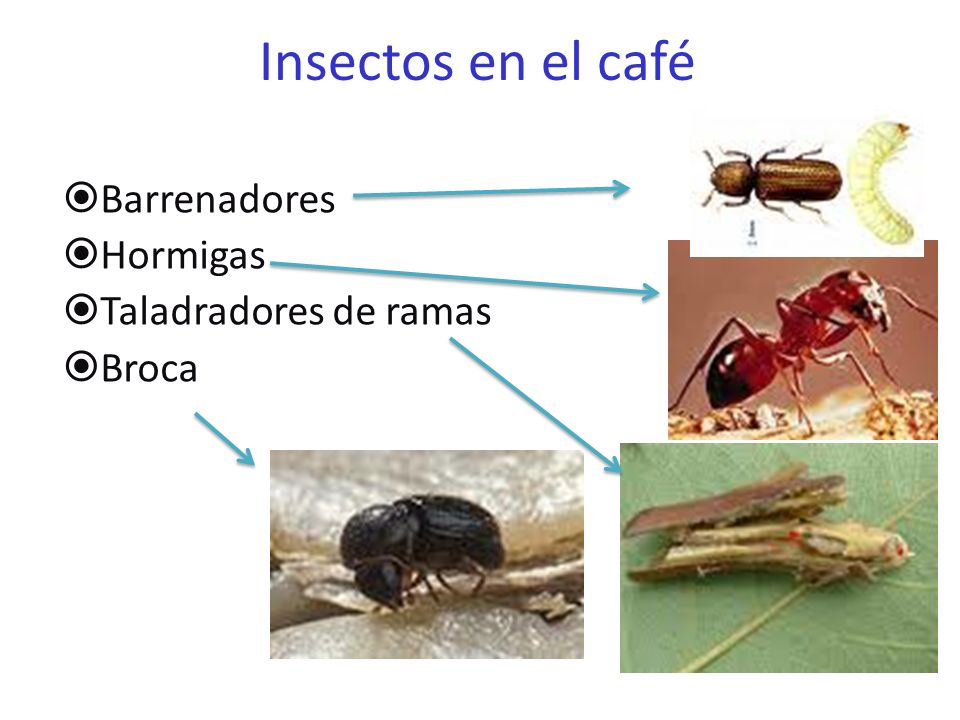 Insectos en el café Barrenadores Hormigas Taladradores de ramas Broca