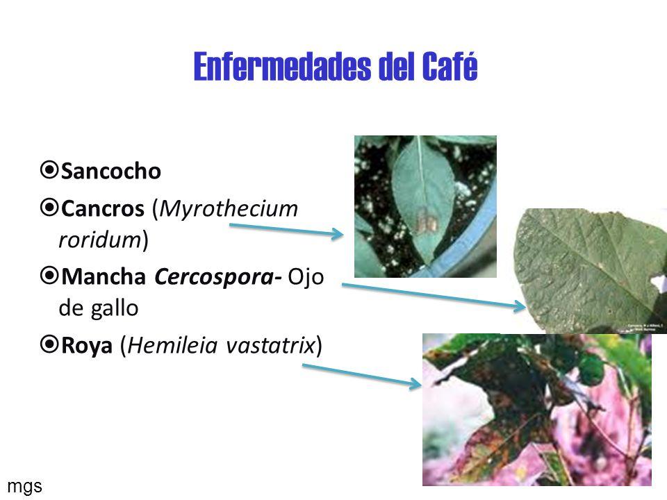 Enfermedades del Café Sancocho Cancros (Myrothecium roridum)