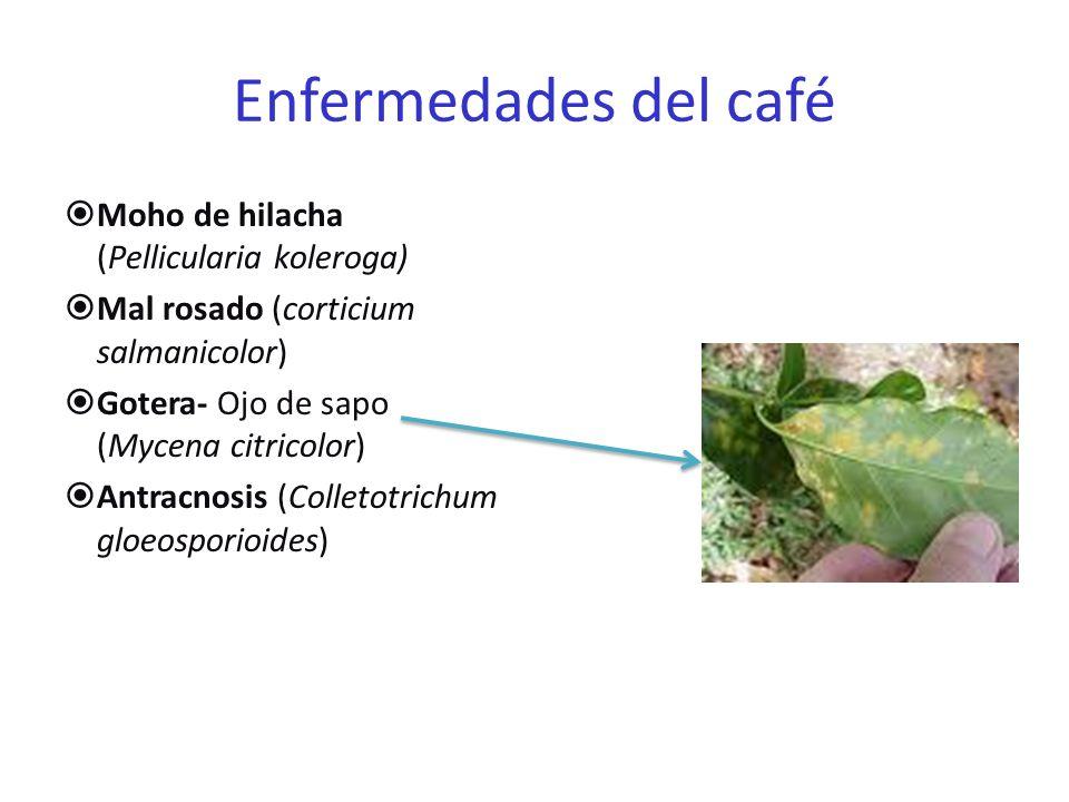 Enfermedades del café Moho de hilacha (Pellicularia koleroga)
