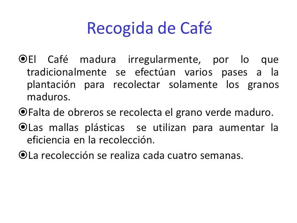 Recogida de Café