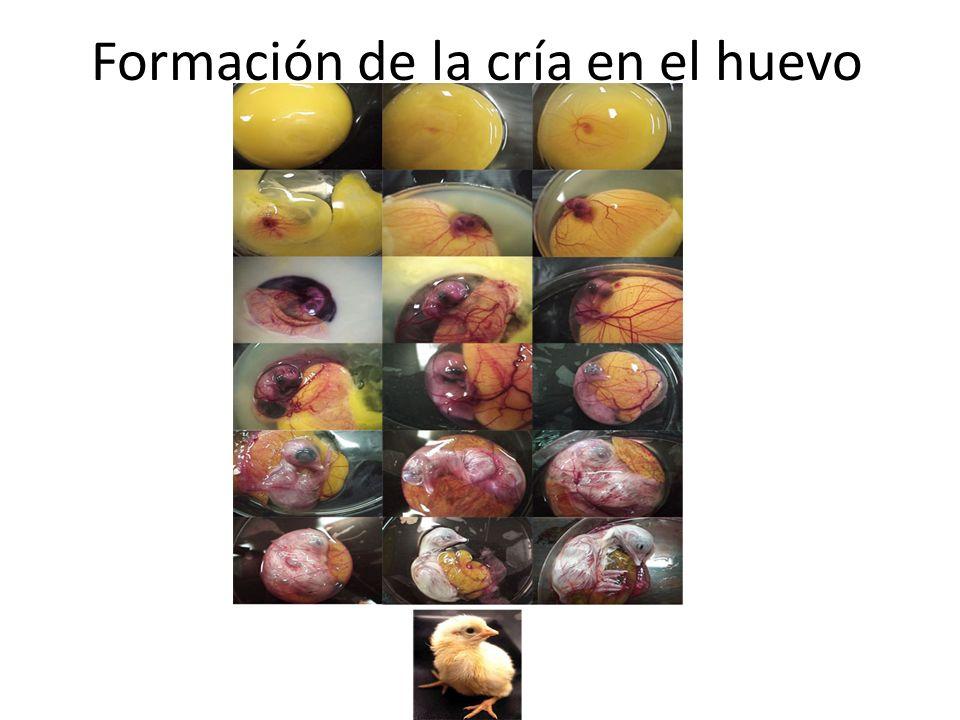 Formación de la cría en el huevo