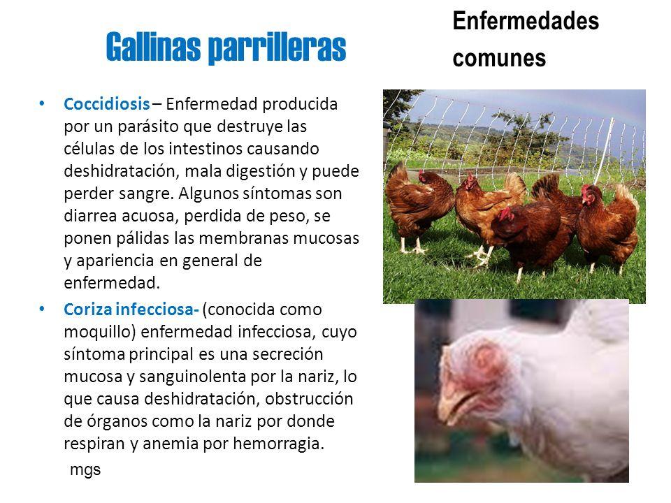 Gallinas parrilleras Enfermedades comunes