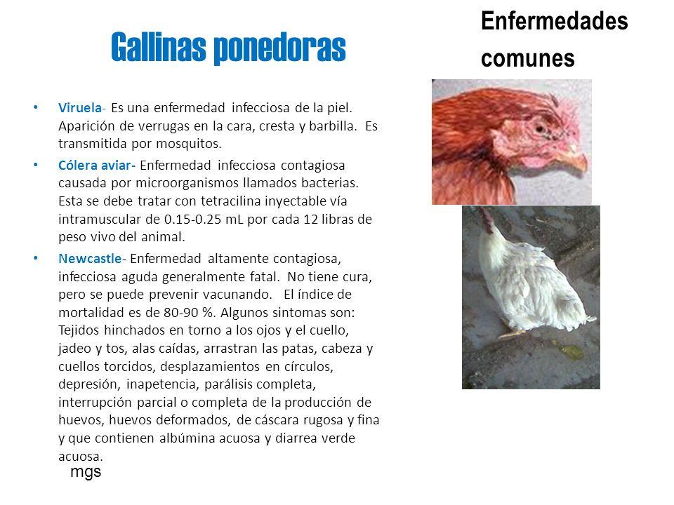 Gallinas ponedoras Enfermedades comunes mgs