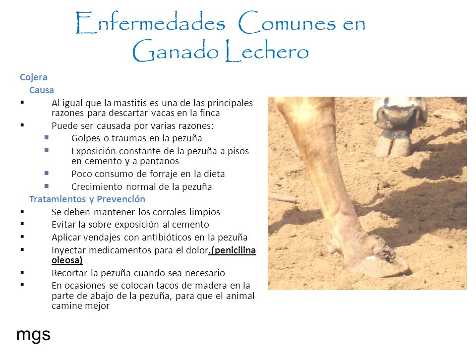 Enfermedades Comunes en Ganado Lechero