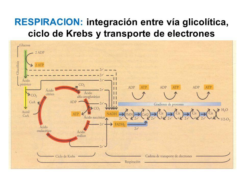 RESPIRACION: integración entre vía glicolítica, ciclo de Krebs y transporte de electrones