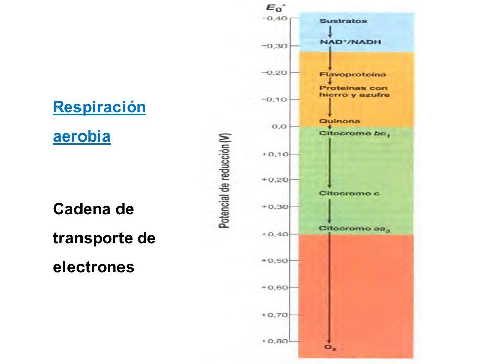 Respiración aerobia Cadena de transporte de electrones