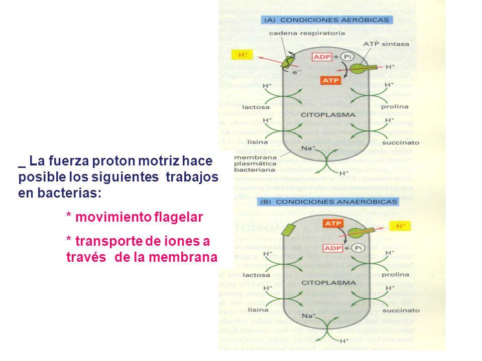 _ La fuerza proton motriz hace posible los siguientes trabajos en bacterias:
