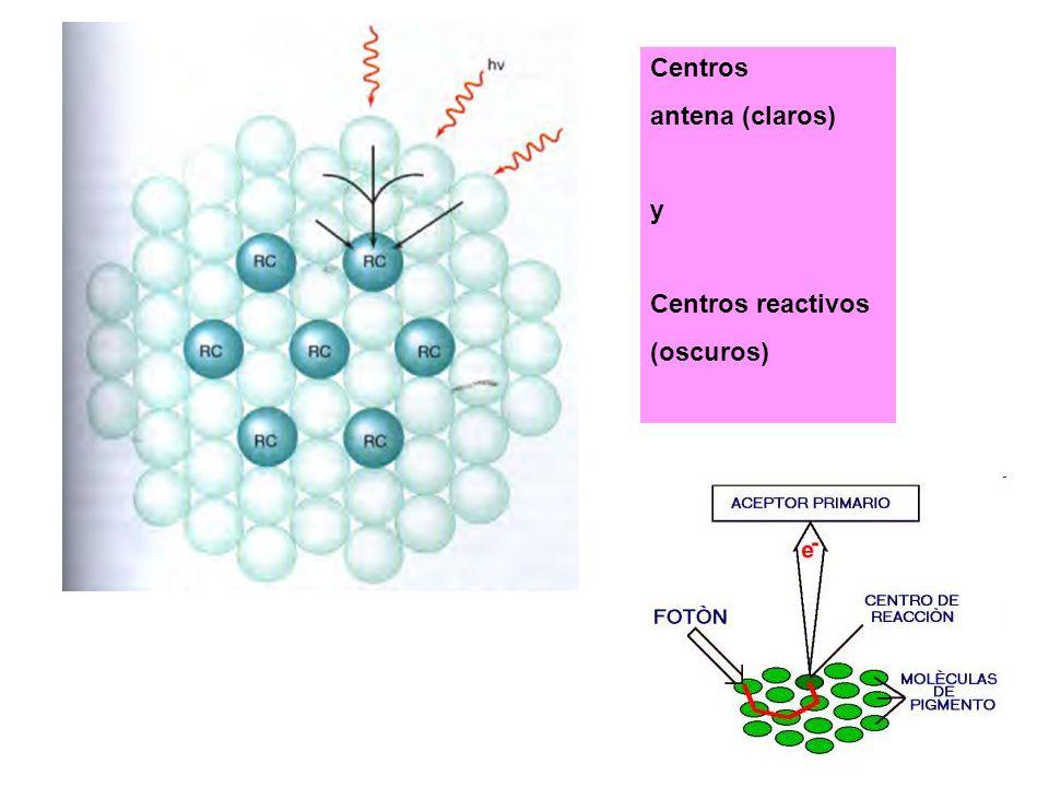 Centros antena (claros) y Centros reactivos (oscuros)