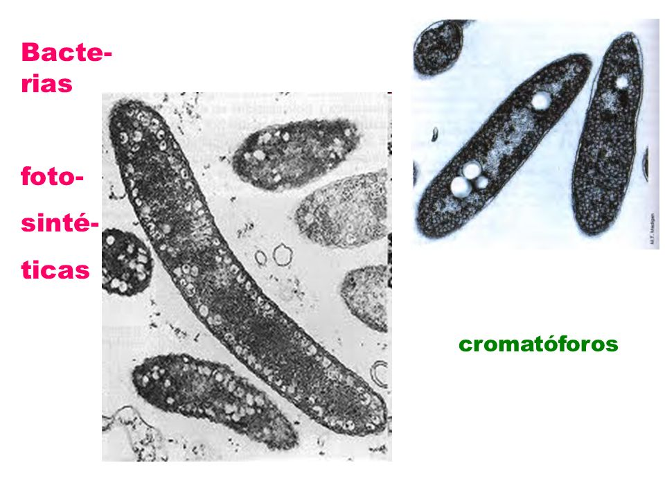 Bacte-rias foto- sinté- ticas cromatóforos