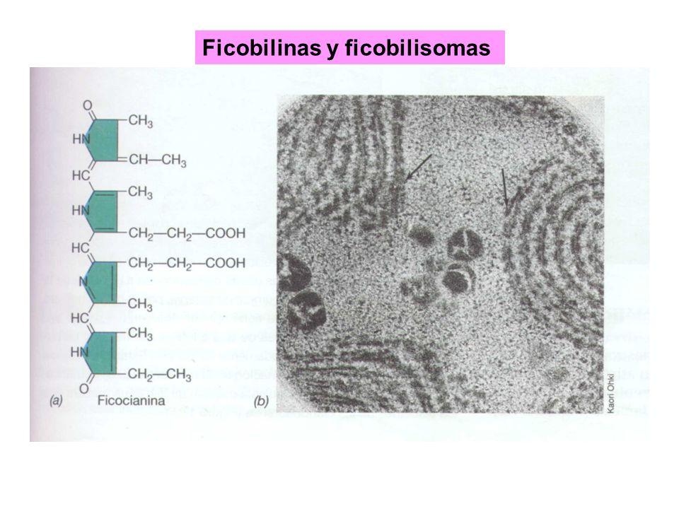 Ficobilinas y ficobilisomas