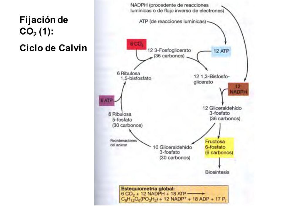 Fijación de CO2 (1): Ciclo de Calvin