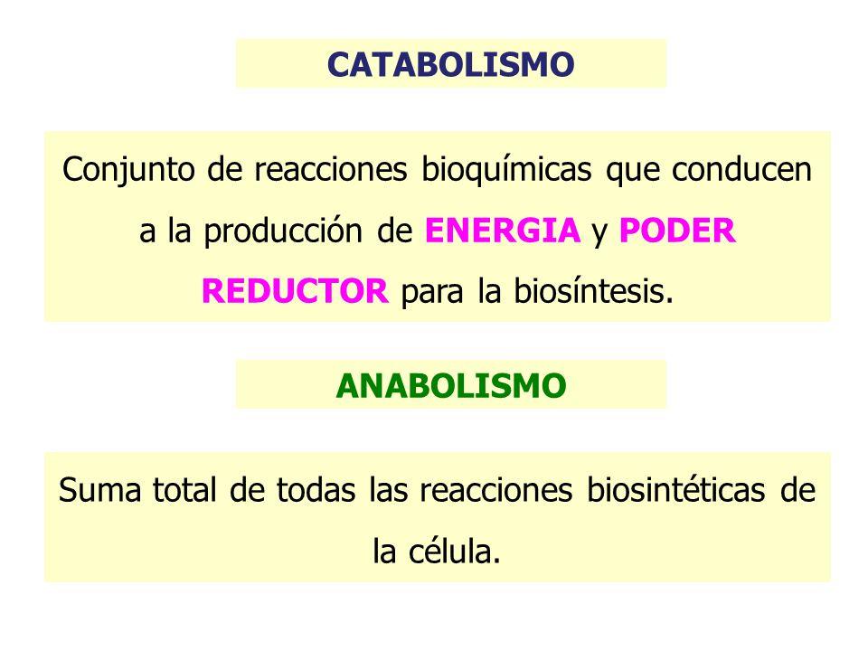 Suma total de todas las reacciones biosintéticas de la célula.