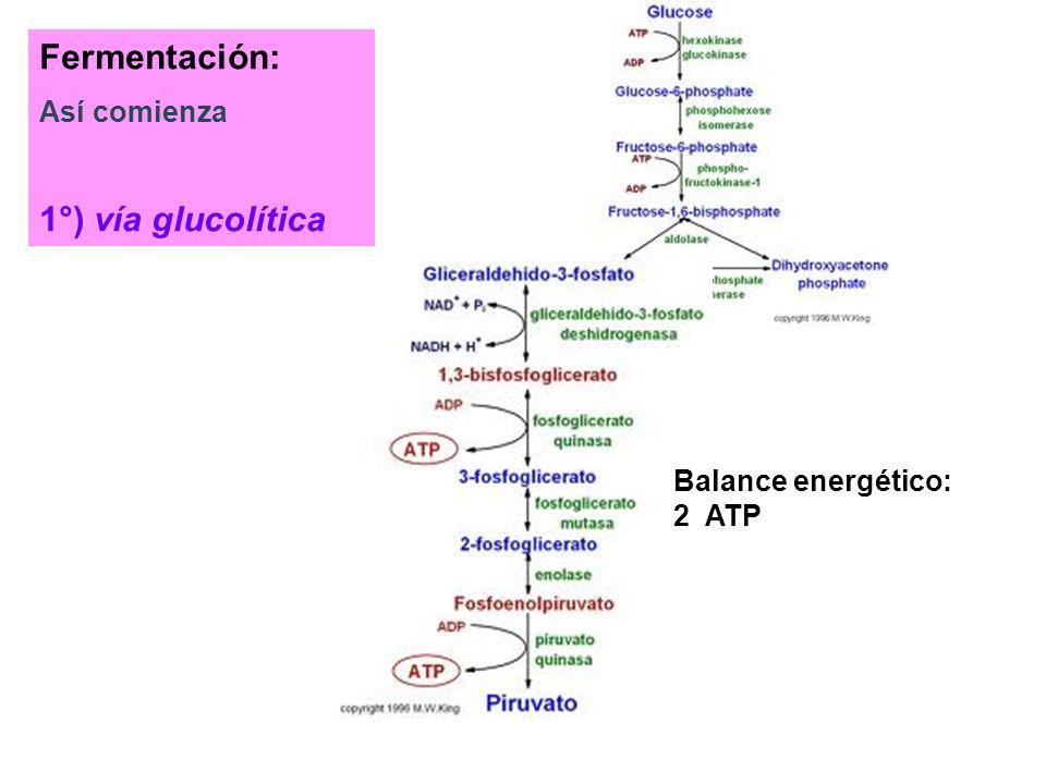 Fermentación: 1°) vía glucolítica Así comienza Balance energético:
