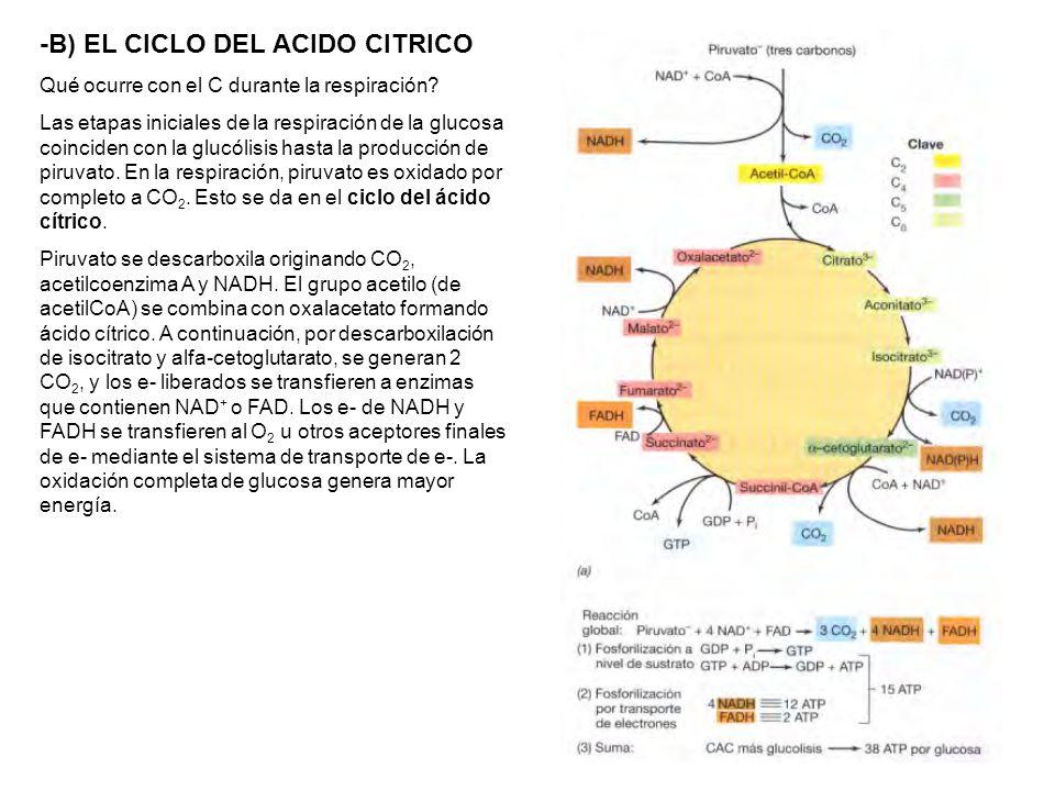 -B) EL CICLO DEL ACIDO CITRICO