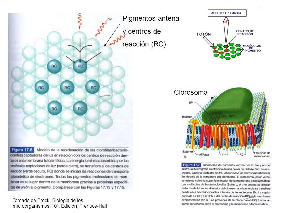 Pigmentos antena y centros de reacción (RC) Clorosoma