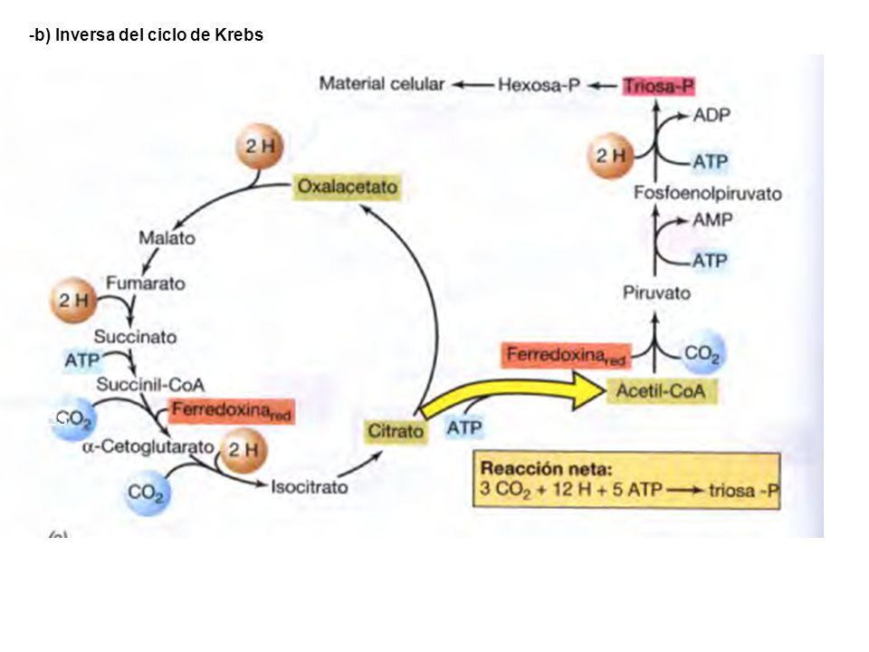 b) Inversa del ciclo de Krebs