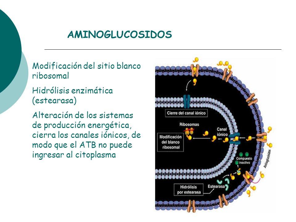 AMINOGLUCOSIDOS Modificación del sitio blanco ribosomal