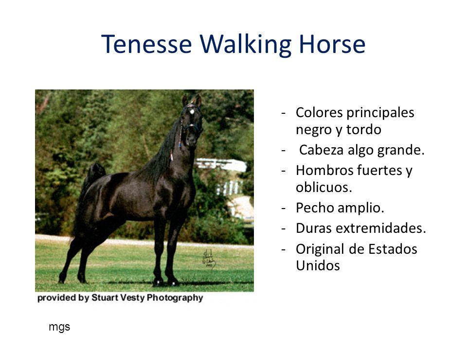 Tenesse Walking Horse Colores principales negro y tordo