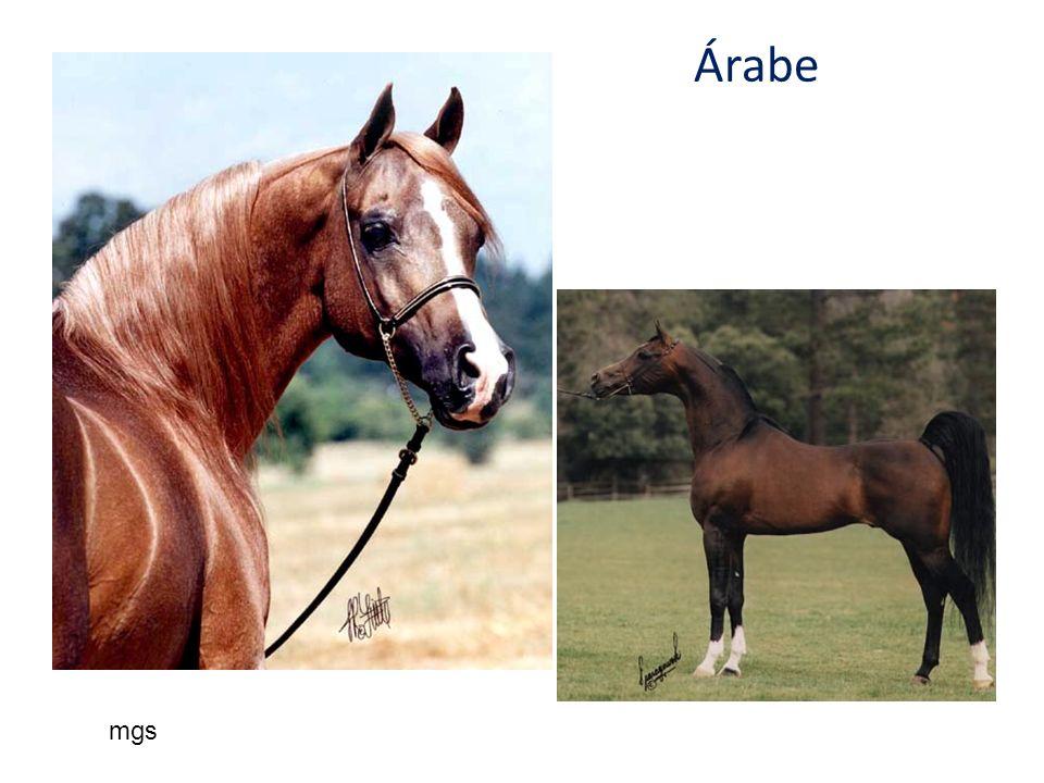 Árabe mgs