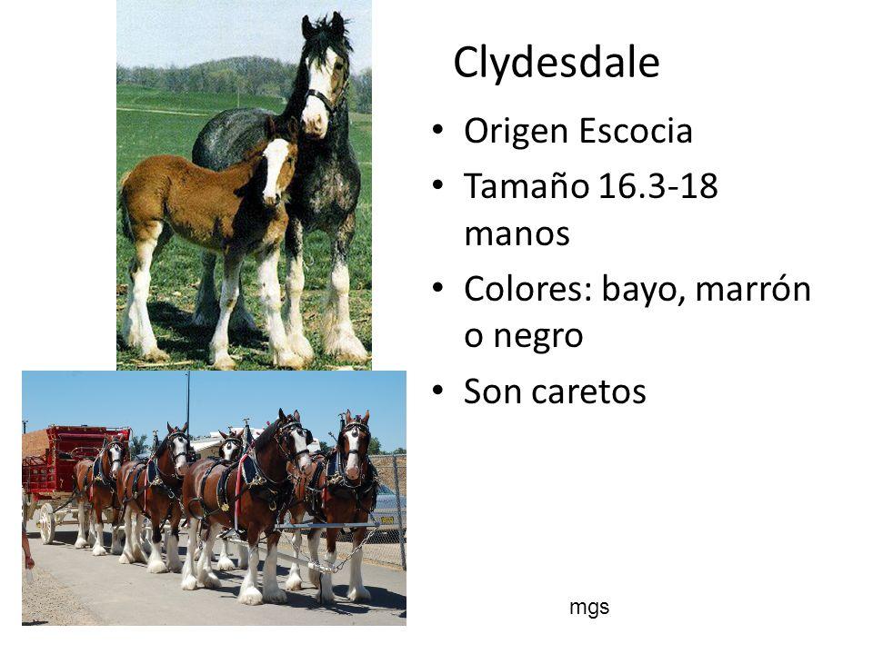 Clydesdale Origen Escocia Tamaño 16.3-18 manos