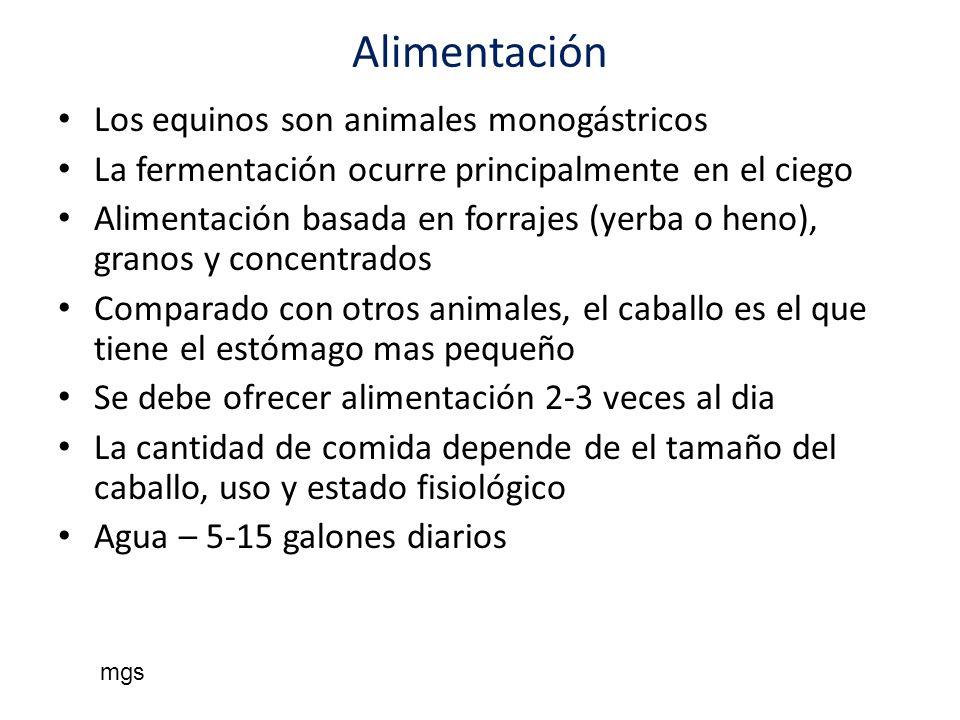 Alimentación Los equinos son animales monogástricos