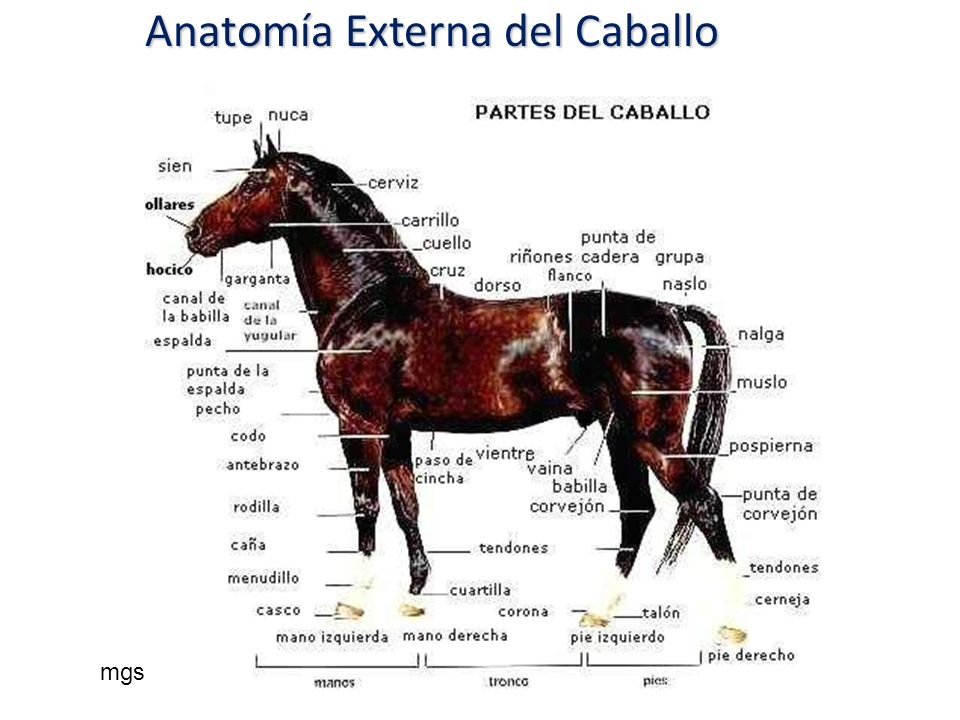 Anatomía Externa del Caballo