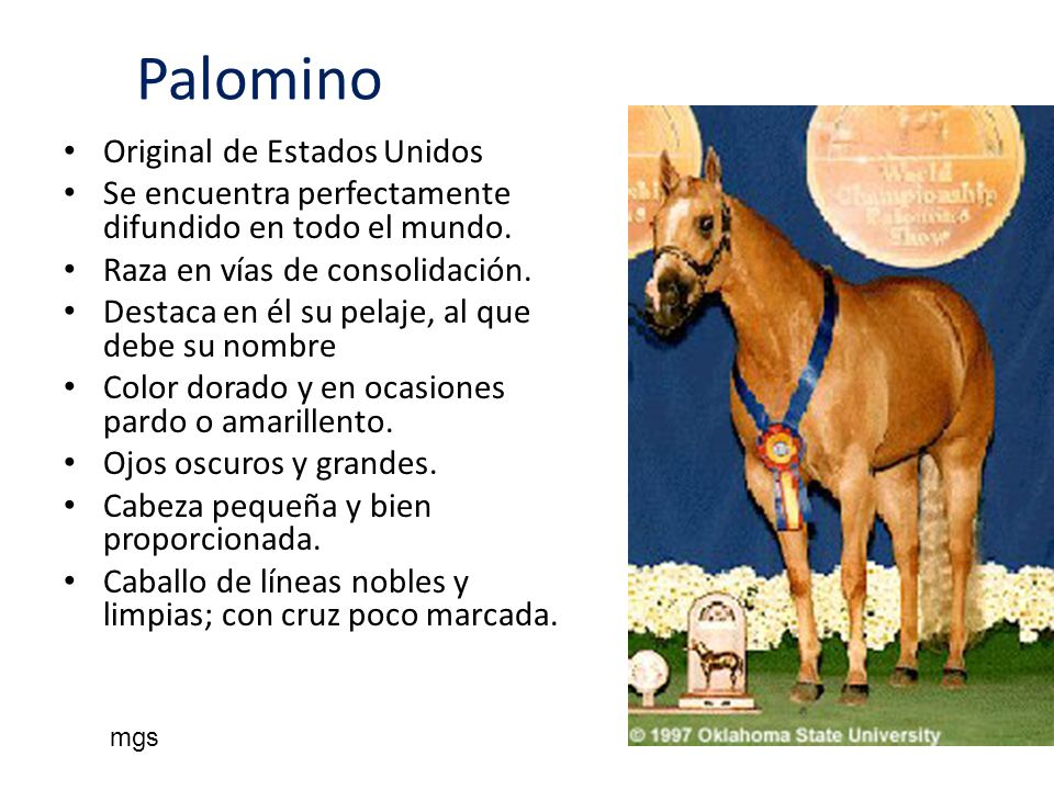 Palomino Original de Estados Unidos