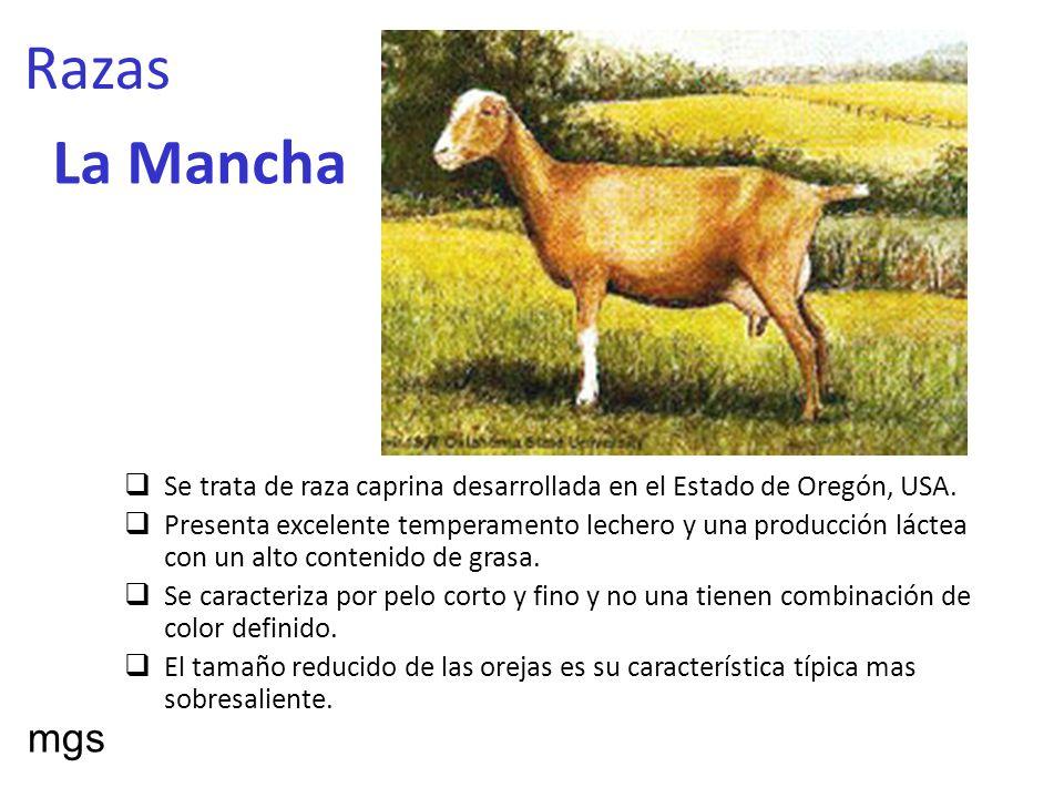 Razas La Mancha. Se trata de raza caprina desarrollada en el Estado de Oregón, USA.