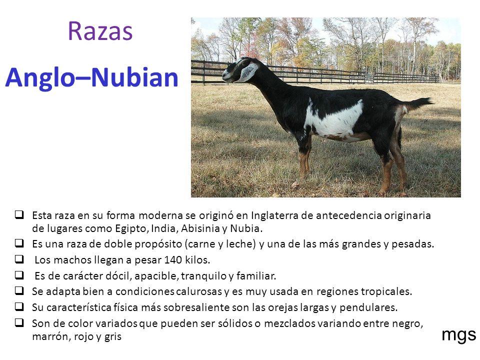 Razas Anglo–Nubian mgs