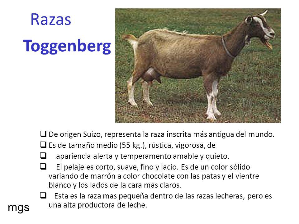 RazasToggenberg. De origen Suizo, representa la raza inscrita más antigua del mundo. Es de tamaño medio (55 kg.), rústica, vigorosa, de.