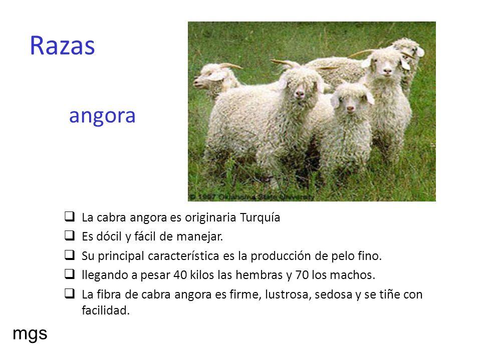 Razas angora mgs La cabra angora es originaria Turquía