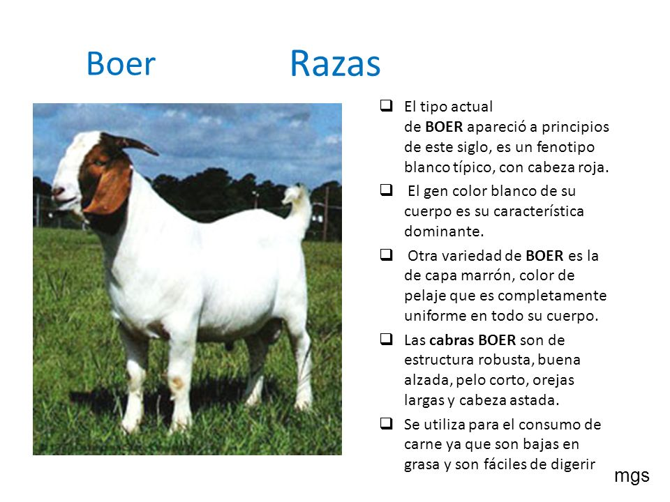 Razas Boer. El tipo actual de BOER apareció a principios de este siglo, es un fenotipo blanco típico, con cabeza roja.