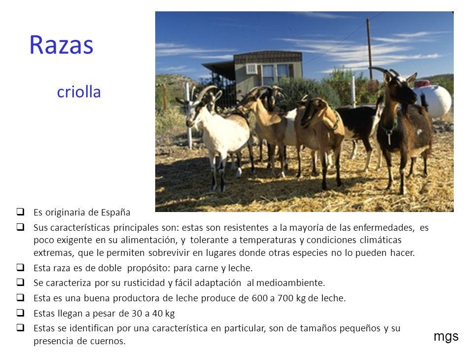 Razas criolla mgs Es originaria de España