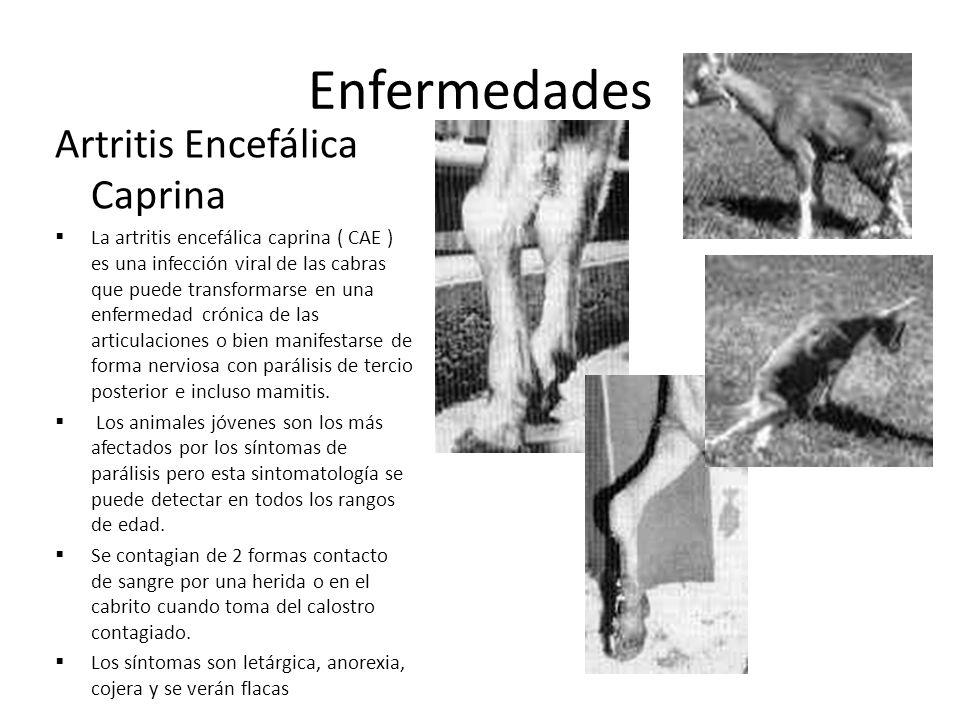 Enfermedades Artritis Encefálica Caprina
