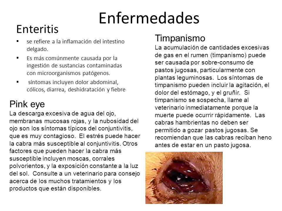 Enfermedades Enteritis Timpanismo Pink eye